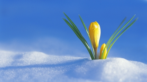 crocus_flower_drops_snow_spring_awakening_20861_1920x1080