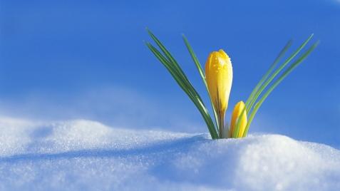 crocus_flower_drops_snow_spring_awakening_20861_1920x1080